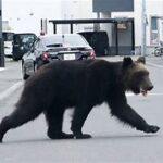 札幌に出現したヒグマ